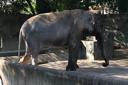 吉祥寺の「井の頭自然文化園」本館(動物園)でアジアゾウの「はな子」さんに会ってきました